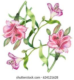 Watercolor Botanical illustration of flowers Alstroemeria on isolated background. Botanical illustration.