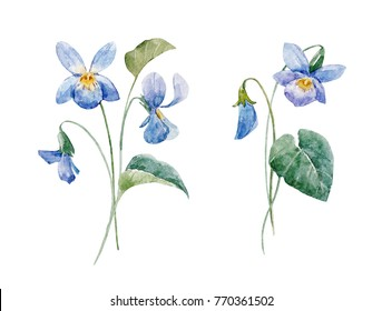 Watercolor Botanical illustration of the flowers of violets, floral composition isolated