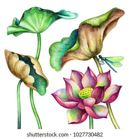 watercolor botanical illustration, lotos flowers, oriental garden nature, pink water lillies, green leaves, red lotus, tropical floral clip art isolated on white background