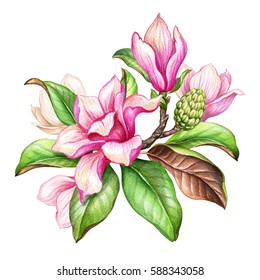 watercolor botanical illustration, magnolia flowers, green leaves, spring nature, floral design elements isolated on white background