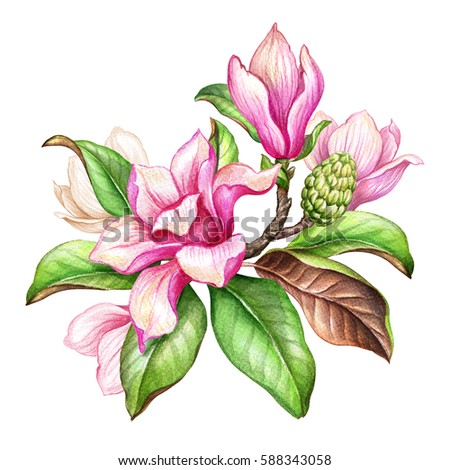 watercolor botanical illustration magnolia flowers greenのイラスト