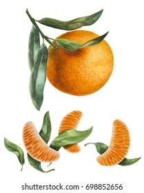 Watercolor botanical illustration. Mandarine.