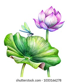 watercolor botanical illustration, pink lotos flower, oriental garden nature, beautiful water lily, green leaves, chinoiserie elements, lotus bud, tropical floral clip art isolated on white background