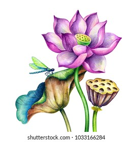 watercolor botanical illustration, pink lotos flowers, oriental garden nature, beautiful water lillies, green leaves, chinoiserie elements, lotus, tropical floral clip art isolated on white background