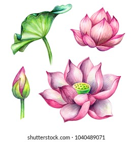 watercolor botanical illustration, pink lotos flowers, oriental garden nature, water lilies, green leaf, chinoiserie design elements, lotus, tropical floral clip art isolated on white background