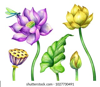 watercolor botanical illustration, pink yellow lotos flowers, oriental garden nature, colorful water lilies, green leaves, chinoiserie elements, lotus, tropical floral clip art isolated on white