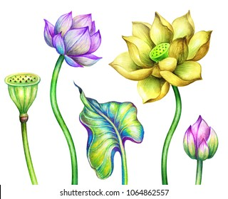 watercolor botanical illustration, pink yellow lotos flowers, oriental garden nature, water lillies, green leaves, chinoiserie design elements, lotus, tropical floral clip art isolated on white