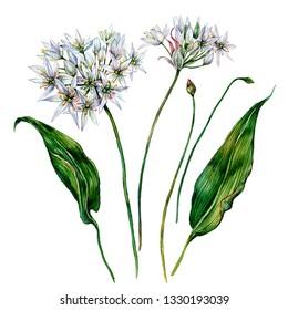 Watercolor Botanical Illustration of Ramson. Wild Leek Flower Elements in Vintage Style. White Flowers and Green Leaves Isolated on White. Allium ursinum. Wild Garlic Wildflower.