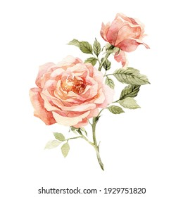 Watercolor botanical illustration of rose for you design. Natural object isolated on white background. Сan be used as a greeting card or for a wedding invitation.