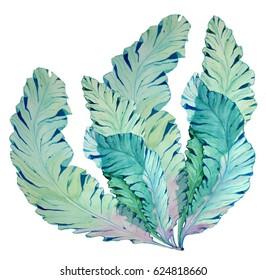Watercolor Botanical illustration of seaweed on isolated background. Botanical illustration kelp.