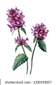 Watercolor Botanical Illustration of Stachys Officinalis. Vintage Style Painting of Betony Flowers, Leaves and Buds. Purple Wildflower Isolated on White. Herbal Medicine.