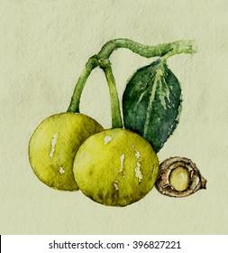 Watercolor botanical illustration of tamanu plant