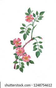 Watercolor botanical illustration of wild rose.
