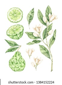Watercolor botanical illustrations. Fresh bergamot blossom. Citrus bergamia (flowers, fruit and leaves) collection. Perfect for wedding invitations, cards, prints, posters, packing.
