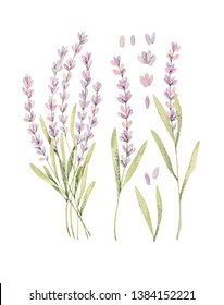 Watercolor botanical illustrations of lavender. Blossom of provence. Perfect for wedding invitations, cards, prints, posters, packing.