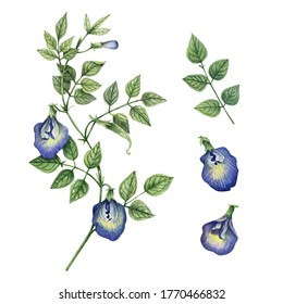 Watercolor botanical set with flowers and branches of сlitoria ternatea  on white. Butterfly pea flowers, pigeon wings, anchan flower. Hand drawn floral elements for your design.