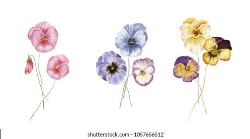 Watercolor  bouquet floral set, a pansy flowers, yellow, purple flowers