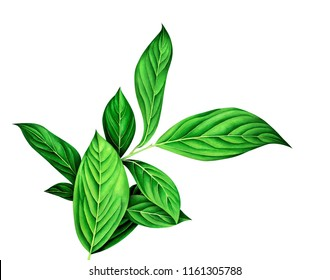 Watercolor branch with green leaves isolated on white background. Botanical hand drawn illustration.