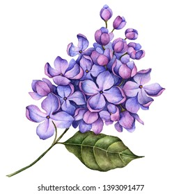 Watercolor branch of lilac flowers, hand drawn floral illustration isolated on a white background.