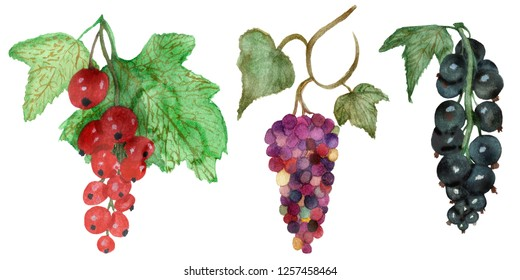 Watercolor branch with red and black currant berries with green leaves on branches and bunch of multi-colored grapes isolated on white background, hand painted food for beautiful design.