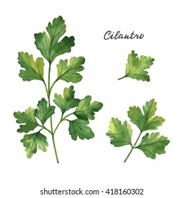 Watercolor branches and leaves of cilantro . Eco products isolated on white background. Watercolor illustration of culinary herbs and spices to your menu.