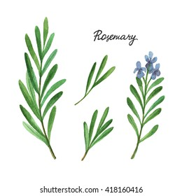 Watercolor branches and leaves of rosemary. Eco products isolated on white background. Illustration of culinary herbs and spices to your menu.