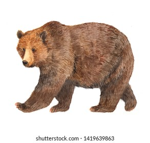 Watercolor brown bear animal illustration isolated on white background