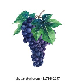 Watercolor bunch of blue grapes decorated with leaves. Hand painted illustration isolated on white background