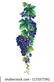Watercolor bunches of blue grapes hanging on the branch with leaves. Hand painted illustration isolated on white background