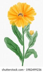 Watercolor calendula officinalis flower and stem