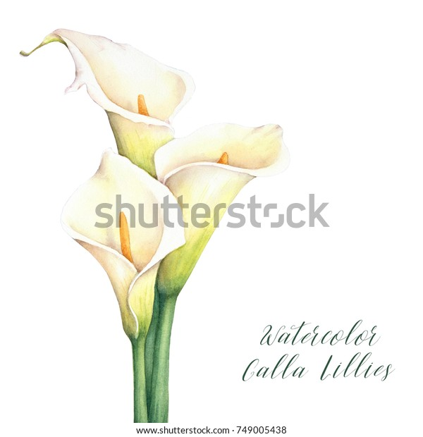 Watercolor calla lilies. Isolated hand drawn illustration. Elegant flowers bouquet.