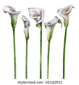 Watercolor Calla Lily Flowers on a white background