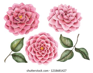 Watercolor camellia flowers set, hand drawn botanical illustration, floral elements isolated on a white background.