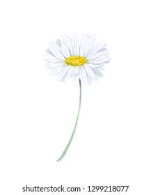 Watercolor Chamomile illustration. Isolated on white background.