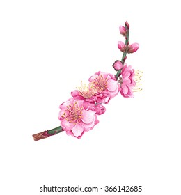 Watercolor Cherry, Plum, Peach blossom, isolated on white background. Chinese New Year Symbol. Postcard, poster & textile design. Hand drawn illustration.