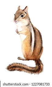 Watercolor chipmunk, Illustration on white background
