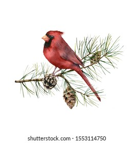 Watercolor Christmas composition with cardinal. Hand painted winter card with bird, fir branch and cones isolated on white background. Botanical illustration for design, print, fabric or background