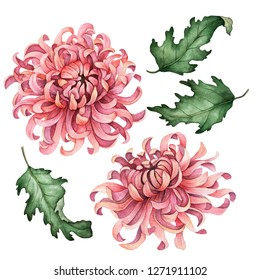 Watercolor chrysanthemum set, hand painted floral illustration, pink flowers isolated on a white background.
