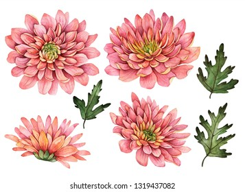 Watercolor chrysanthemum set, hand painted floral illustration, beautiful flowers isolated on a white background.