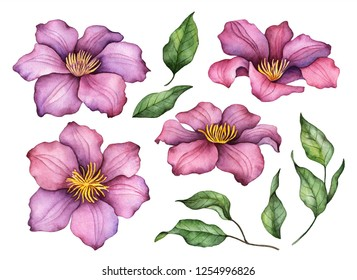 Watercolor clematis, hand painted floral illustration, set of flowers and leaves isolated on a white background.