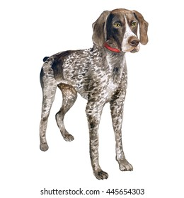 Watercolor close up portrait of cute  German Shorthaired Pointer breed dog isolated on white background. Medium to large size hunting dog. Hand drawn sweet home pet. Greeting card design. Clip art