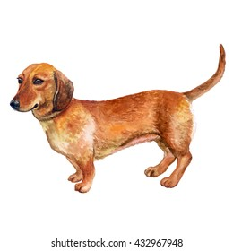 Watercolor closeup portrait of smooth german Dachshund dog isolated on white background. Popular short-legged, long-bodied, hound-type dog breed. Hand drawn home pet. Greeting card design. Clip art