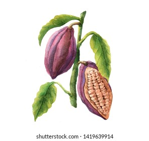 Watercolor cocoa beans isolated on a white background illustration.