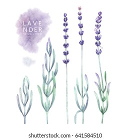 Watercolor collection of lavender leaves and flowers. Hand painted provencal herbs isolated on white background