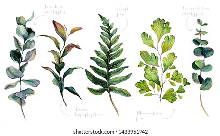 Watercolor Collection of Wedding Greenery: True Blue Eucalyptus, Ruscus Hypophyllum, Forest Fern, Maidenhair Fern, Silver Dollar Eucalyptus. Botanical Print of Trendy Plants. Vintage Illustration.