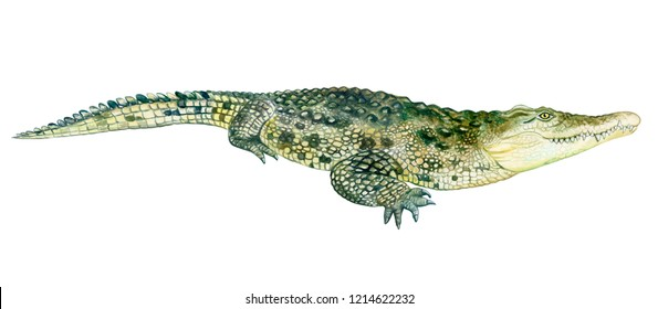 Watercolor colorful crocodile with teeth, illustration on a white background in a realistic style. Template. Hand drawing. Close-up. Clip art.