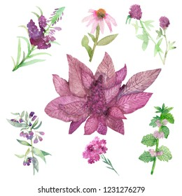 Watercolor composition isolated maroon amaranth and healing plants on a white background, hand-painted, herbal set with space for text