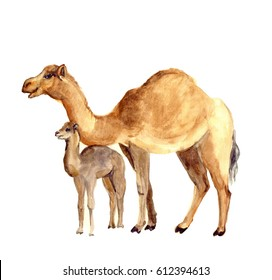 Watercolor cute camel with baby. Watercolor wildlife