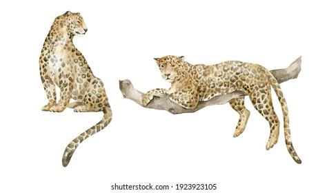 Watercolor cute leopards. Exotic wild cat, realistic animals, jaguar.