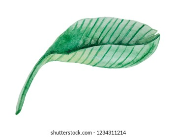 Watercolor detailed leaf of Medinilla, for design compositions.
